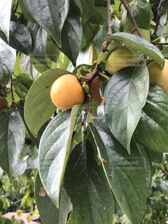 近くに果物の木からぶら下がってアップ - No.735839