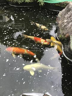 水体で泳ぐ鯉 - No.740899