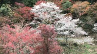 四季桜の写真・画像素材[2458098]