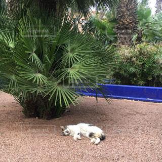 ヤシの木の横の地面に横たわっている犬の写真・画像素材[1242848]