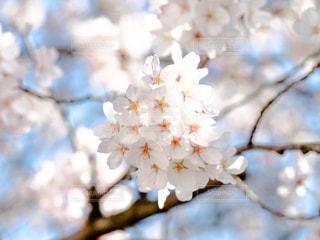 満開の桜の写真・画像素材[943275]