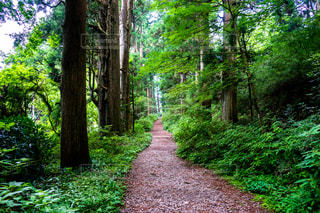 箱根旧街道の杉並木の写真・画像素材[1386348]