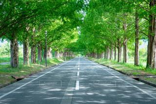 道の端に木のパス 滋賀県のメタセコイア並木の写真・画像素材[1410722]