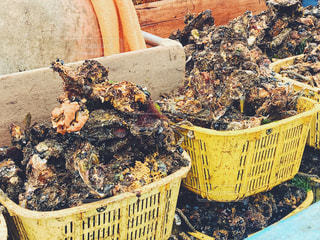 牡蠣の収穫の写真・画像素材[1493978]