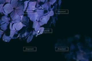 花のクローズアップ 紫陽花と水滴の写真・画像素材[3397589]