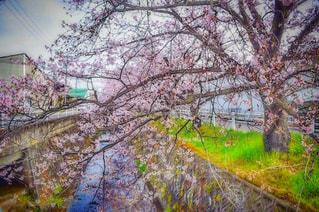 Sakura.の写真・画像素材[1084638]