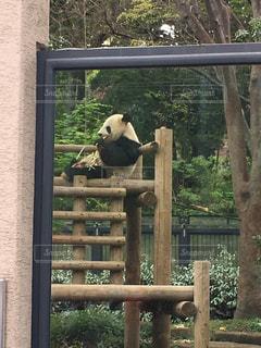 パンダ 上野動物園 横顔 かわいいの写真・画像素材[605625]
