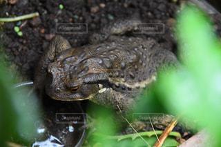 カエルのアップの写真・画像素材[721325]