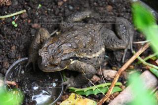 地面に座っているカエルの写真・画像素材[721326]