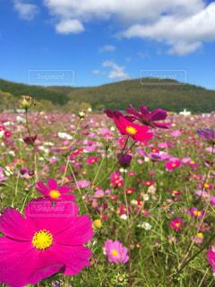 コスモスの花の写真・画像素材[760628]