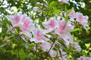 山に咲くツツジの写真・画像素材[1180772]