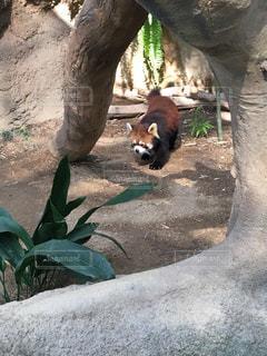 活発なレッサーパンダの写真・画像素材[852085]
