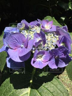 花 紫陽花 庭の 自宅 紫 綺麗 癒しの写真・画像素材[610968]
