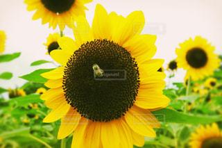 蜂がとまったヒマワリの写真・画像素材[692709]