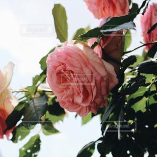 ピンク - No.609202