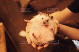 産後太りのハリネズミの写真・画像素材[1087546]