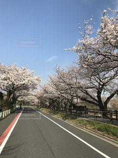 桜街道の写真・画像素材[1089112]
