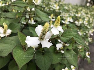 花の写真・画像素材[611387]