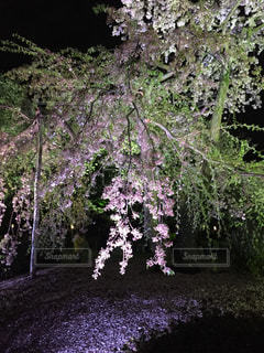 桜の写真・画像素材[617813]