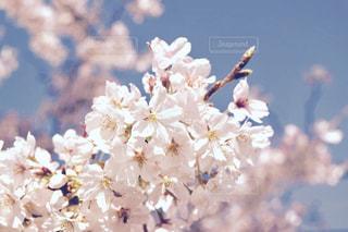 桜の写真・画像素材[651798]