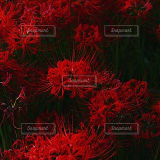 彼岸の花の写真・画像素材[918184]