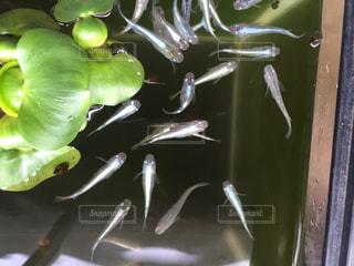 魚の写真・画像素材[614360]