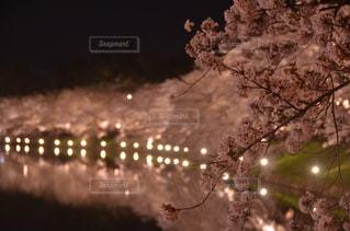 夜桜の写真・画像素材[824151]