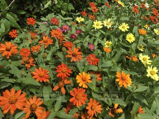花の写真・画像素材[615521]