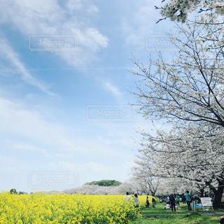 桜の写真・画像素材[614925]