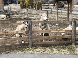 ヤギと羊の写真・画像素材[1052515]