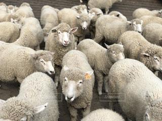 羊の群れの写真・画像素材[1052516]