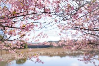 河津桜の写真・画像素材[1039448]