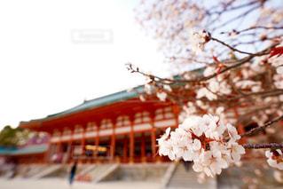 桜と平安神宮の写真・画像素材[1095038]