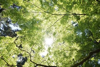 眩しい新緑の写真・画像素材[1151472]