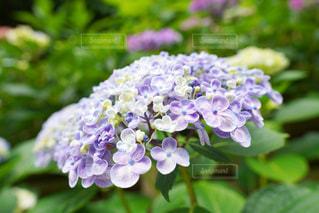 紫陽花の写真・画像素材[1215015]