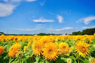 満開のひまわり畑の写真・画像素材[1423610]