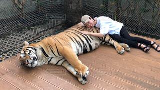 トラとお昼寝の写真・画像素材[2317184]