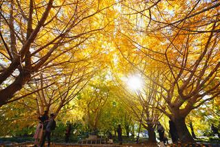黄色に色づくいちょうは大人気の写真・画像素材[2794000]