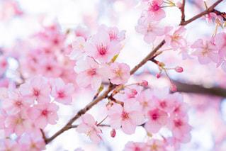 今年初の春探しの写真・画像素材[2973737]