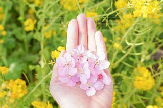 落ちてもなお綺麗な桜の写真・画像素材[2973747]