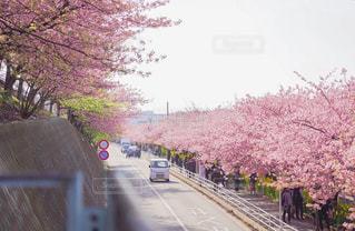 河津桜の写真・画像素材[2984404]