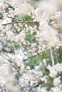 梅の写真・画像素材[2985452]