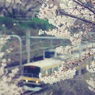 桜の写真・画像素材[616627]