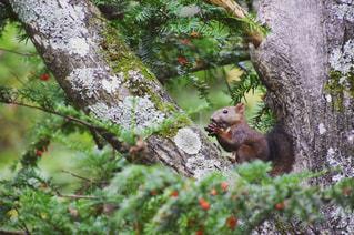 森の枝にリスの写真・画像素材[742822]