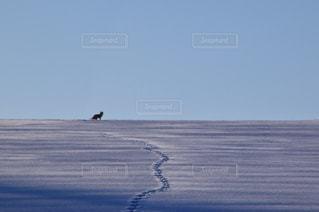 雪の丘のキタキツネの写真・画像素材[974550]