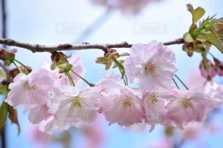 北海道美唄市の桜の写真・画像素材[1169006]