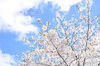 北海道美唄市の桜の写真・画像素材[1169007]