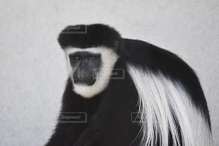 旭川の旭山動物園のアビシニアコロブスの写真・画像素材[1374461]