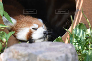 旭川の旭山動物園のレッサーパンダの写真・画像素材[1374470]