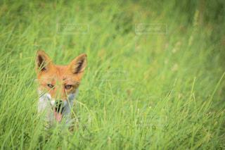 草原に位置するキツネの写真・画像素材[2282388]